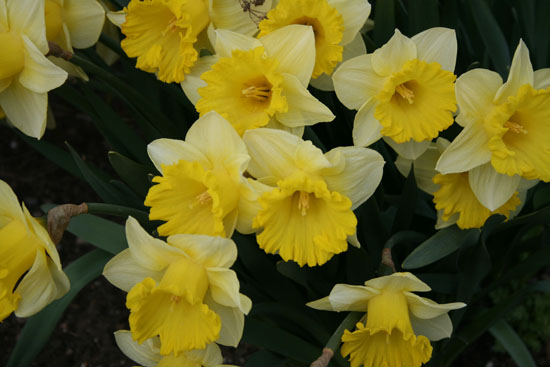 may-daffodils1