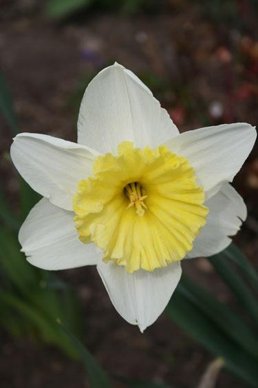 whitedaffodile