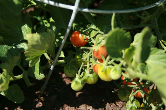 ripe-cherry-tomatoes