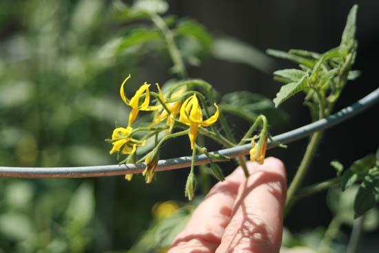 tomato-blossoms1